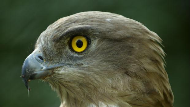 fife-buzzard